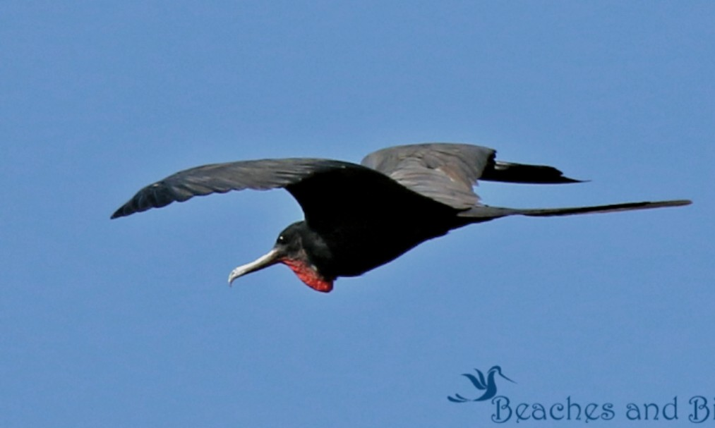 What the Frigate is a Magnificent Frigate Bird?